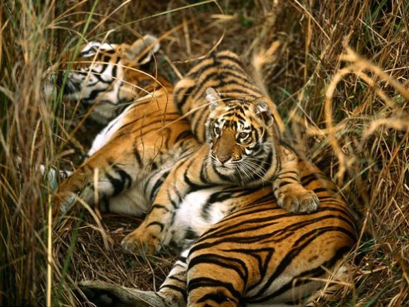 bengal-tigers_10_600x450 in the wild