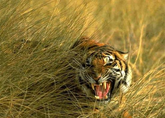 royal-bengal-tiger-of-sunderbans_7548