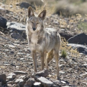coyote2-400x400