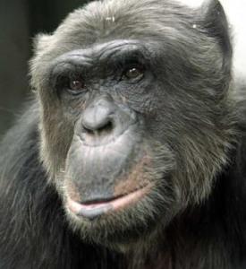 chimp-112113