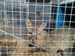 fox in cage
